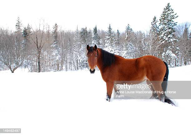 Bay horse standing alone in deep snow