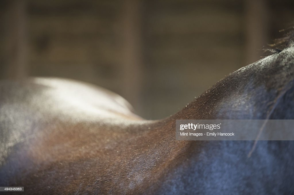 A bay horse. The neck, withers and curve of the back. : Stock Photo