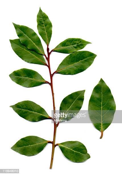 bay leaves, Laurus nobilis
