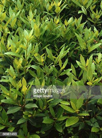 Bay plant