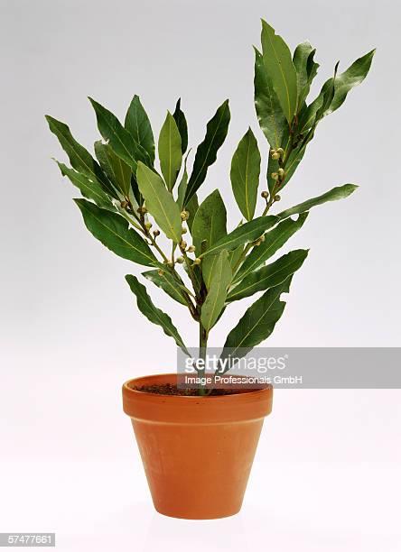 Bay tree in flowerpot