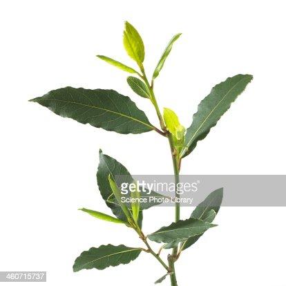 Bay tree Laurus nobilis stem