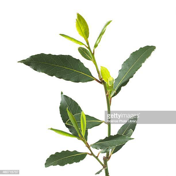 Bay tree Laurus nobilis stem
