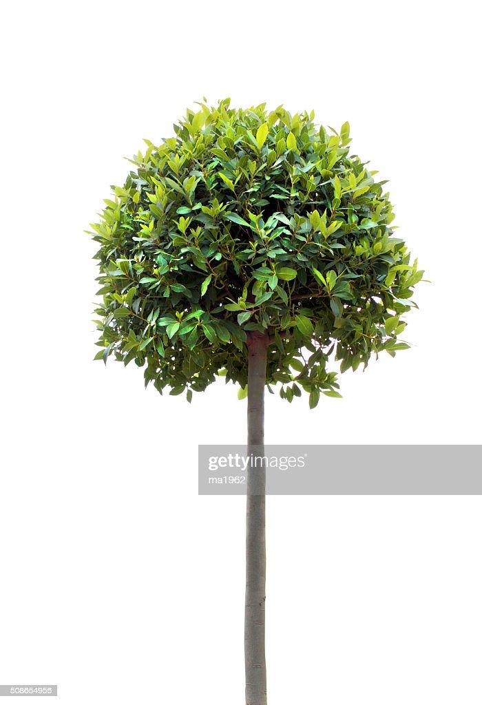Bay tree : Stock Photo