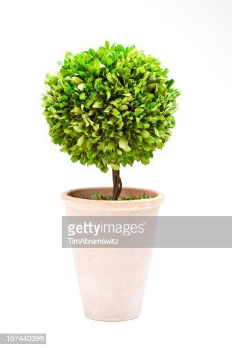Bay Tree Topiary