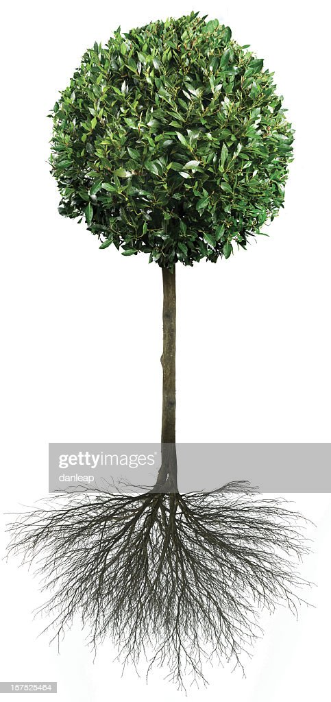 Bay Tree With Roots