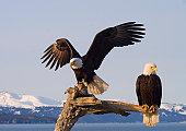 American Bald Eagles perched