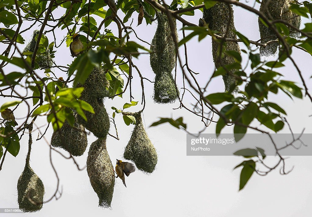 A Baya weaver builds a nest in a tree on the outskirts of Kathmandu, Nepal, May 25, 2016. Weavers are known for their elaborately woven nests.