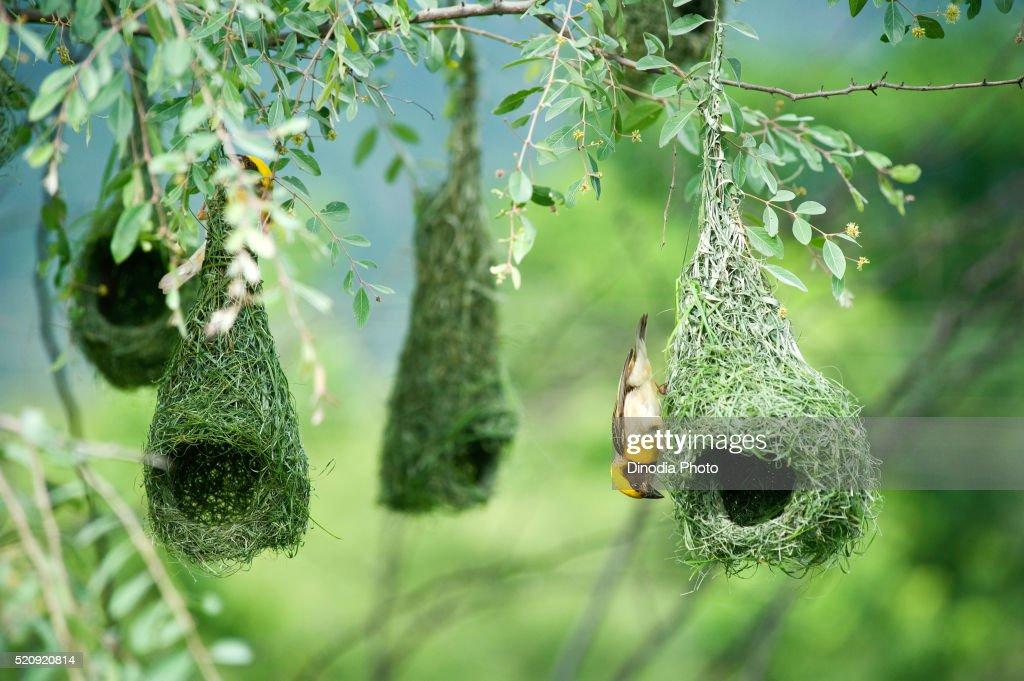 Baya weaver flying for nesting, India
