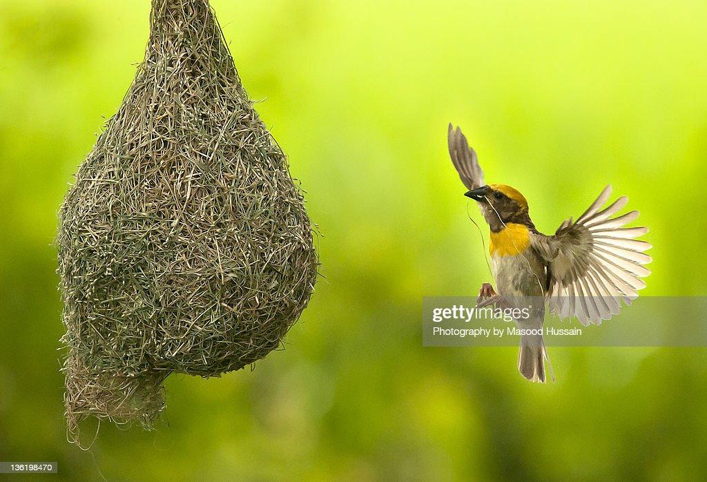 Baya Weaver making nest