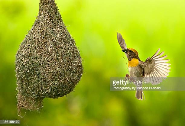 Baya Weaver making nest