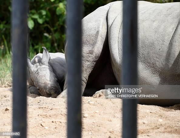 Bayami a newborn baby white rhinoceros sits next to its mother at the zoological park of the eastern French city of Amneville eastern France on July...
