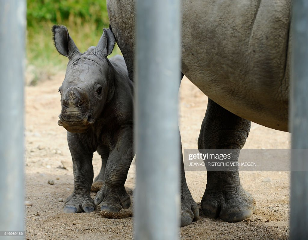 Bayami a newborn baby white rhinoceros stands next to its mother at the zoological park of the eastern French city of Amneville eastern France on...