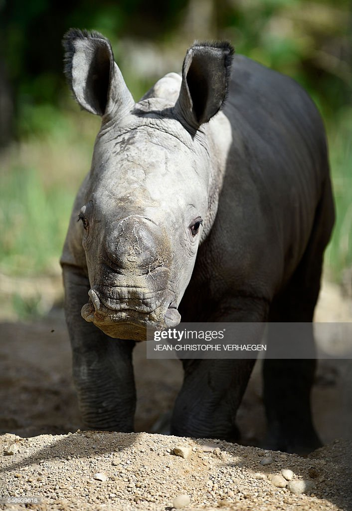 Bayami a newborn baby white rhinoceros strolls at the zoological park of the eastern French city of Amneville eastern France on July 13 2016 VERHAEGEN