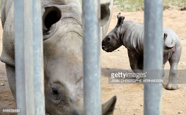 Bayami a newborn baby white rhinoceros strolls next to its mother at the zoological park of the eastern French city of Amneville eastern France on...