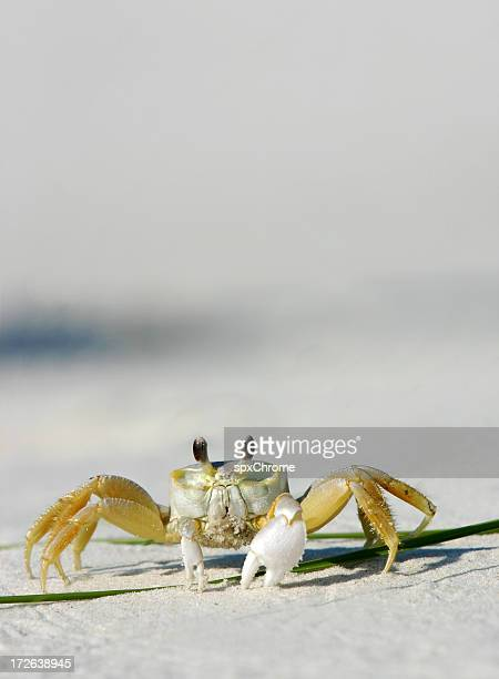 Beach Crab - Close Up