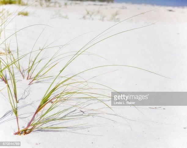 Beach Grass in White Sand