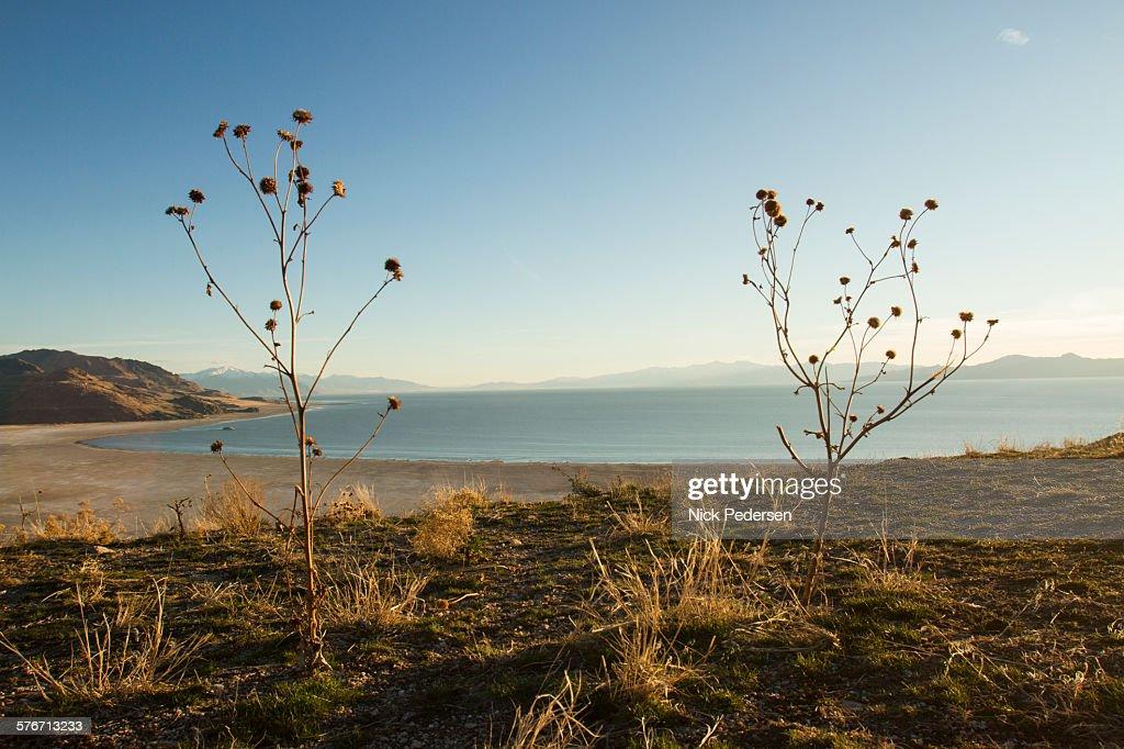 Beach plants on Antelope Island