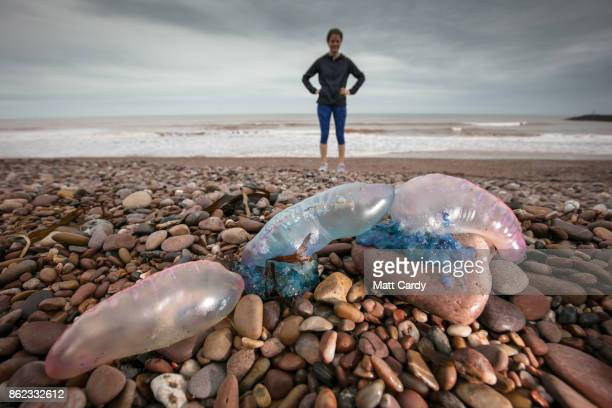 A beach walker poses for a photograph besides Jellyfish that have been washed up on Sidmouth beach by yesterday's exhurricane Ophelia in Sidmouth on...