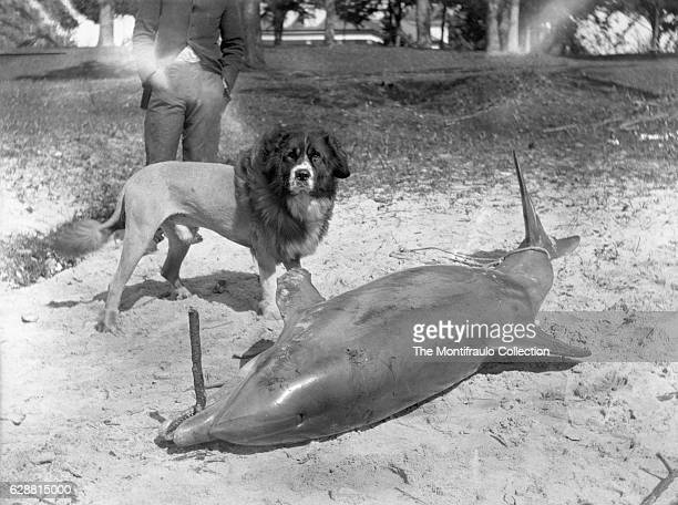 A beached dead dolphin with its teeth gripped around a stick and tail fin tied with a rope Standing alongside is a man with a St Bernard type dog...