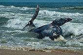 A juvenile humpback whale washed up on a popular Perth beach on the