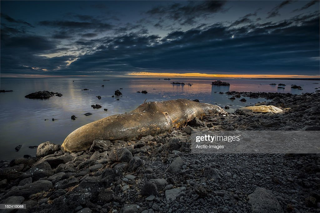 Beached Sperm Whale : Stock Photo