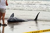 Sperm whale stranded on the beach.