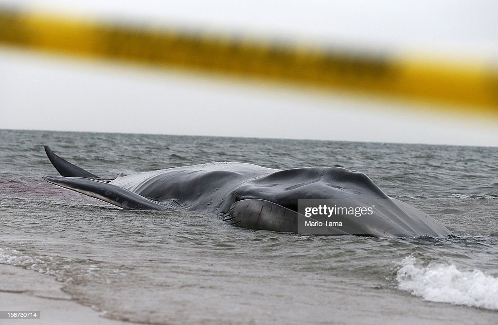 A beached whale, still alive, struggles on the shoreline in the Breezy Point neighborhood on December 26, 2012 in the Queens borough of New York City. Breezy Point was especially hard hit by Superstorm Sandy. Rescuers believe the whale will not be able to be saved.