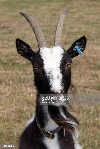 A Bagot goat is pictured at the Odds Farm Park in Beaconsfield in southern England 15 August 2006 Bagot goats are classified as critical by the...