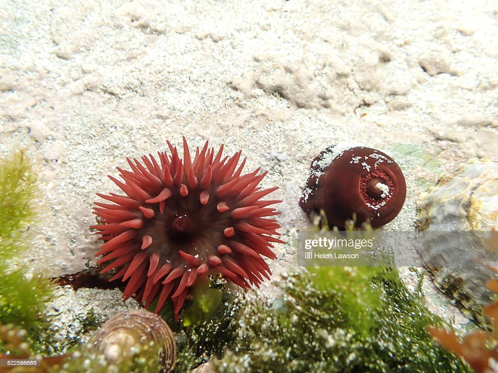 Beadlet anemone in clear rockpool