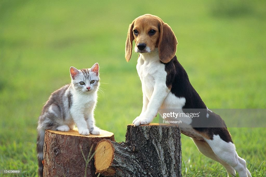 A Beagle and a Cat Standing on a Tree Trunk Outside, Looking Sideways, Front View, Differential Focus : Stock Photo