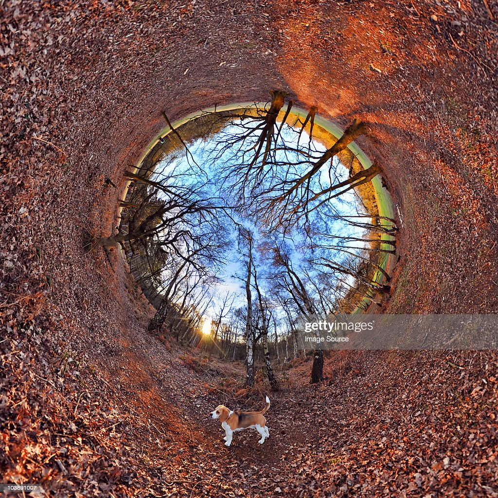 Beagle and leaves in park with tunnel effect