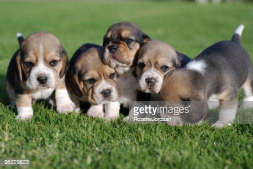Beagle Babies