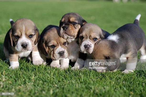 Beagle Bebés