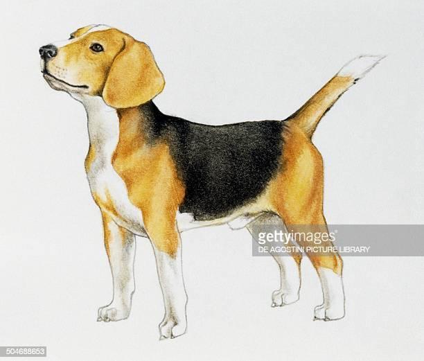 Beagle Canidae drawing