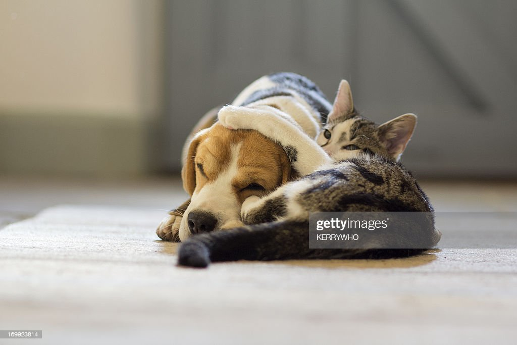 Beagle dog and moggie cat having a cuddle : Stock Photo