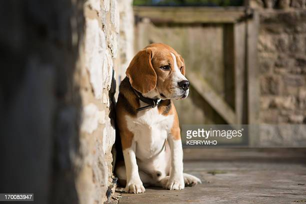 Beagle dog enjoying the sun