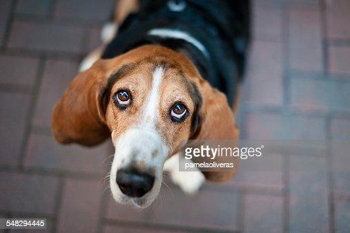 Beagle dog looking up