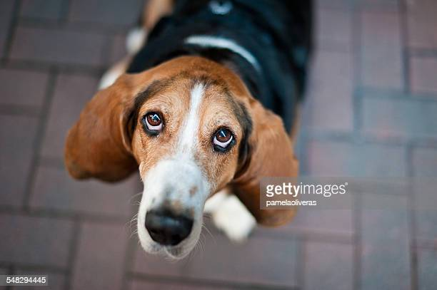 Beagle dog looking up