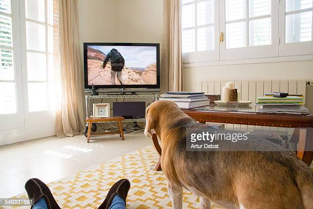 Beagle dog on carpet watching Television at home with man on Pyjama from pov