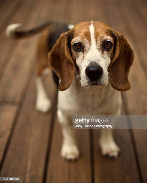 Beagle dog portrait