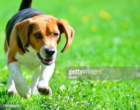 Beagle dog running on grass
