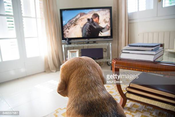 Beagle dog sitting on carpet watching Television at home