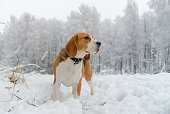 dog Beagle on a walk in the winter woods with white snowdrifts and snow-covered trees