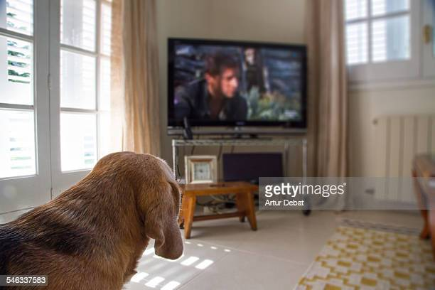 Beagle dog watching television at home