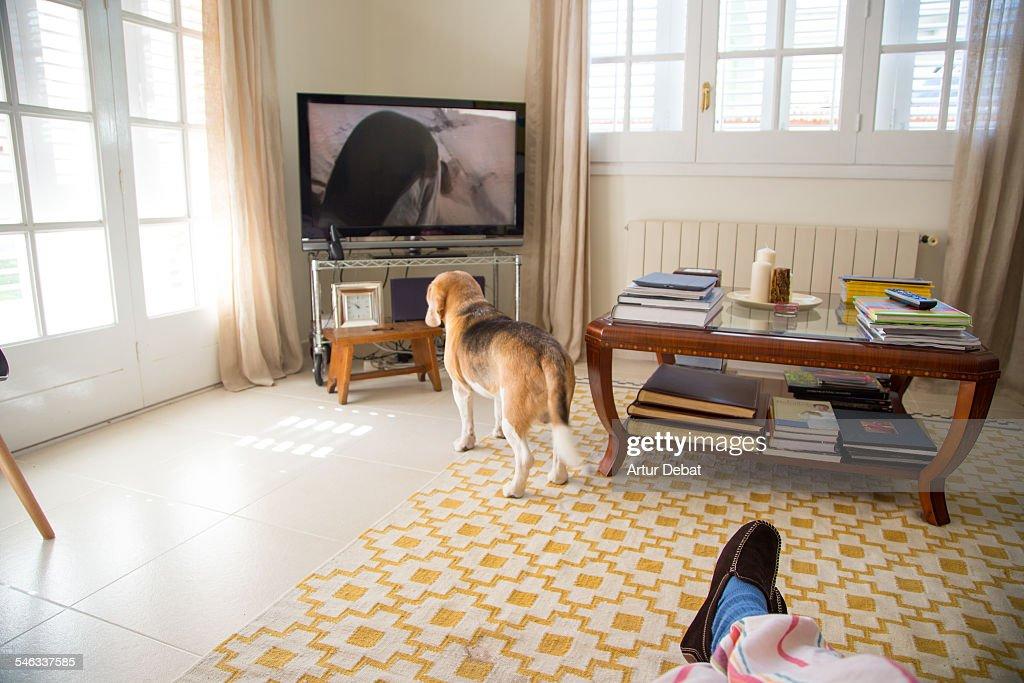 Beagle dog watching television on home living room with man on pyjama sitting on sofa.