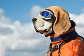 Beagle dog wearing blue flying glasses or goggels, sitting in a bicycle basket on a sunny day