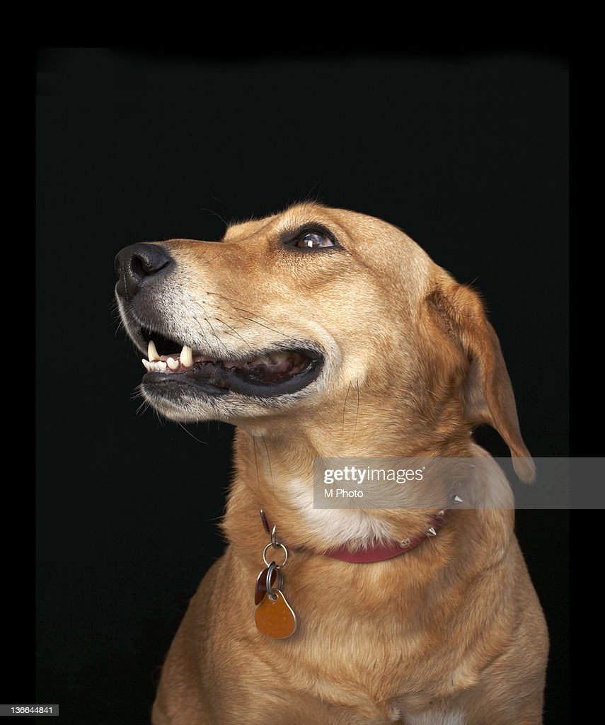 Beagle Golden Lab Mix looking to the side. : Stock Photo