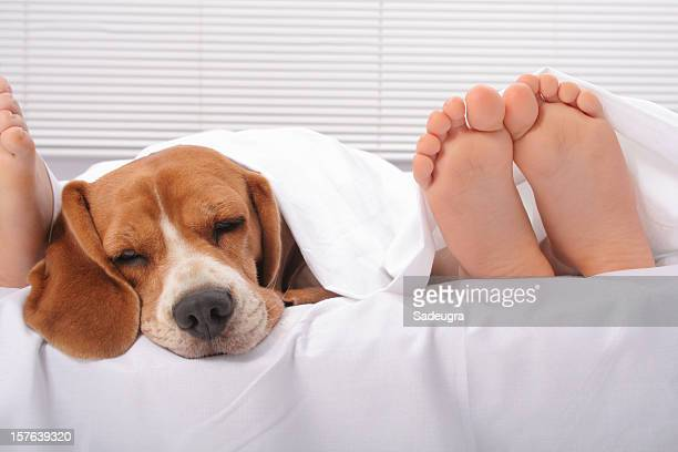 Beagle head with couple's feet poking out from under sheet