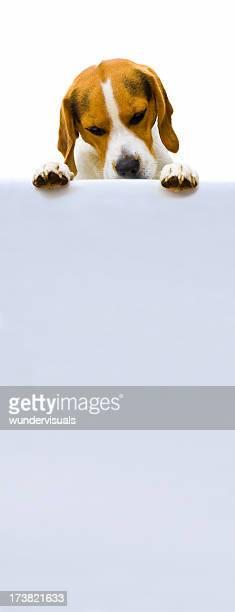 beagle blickt auf eine leere Schild